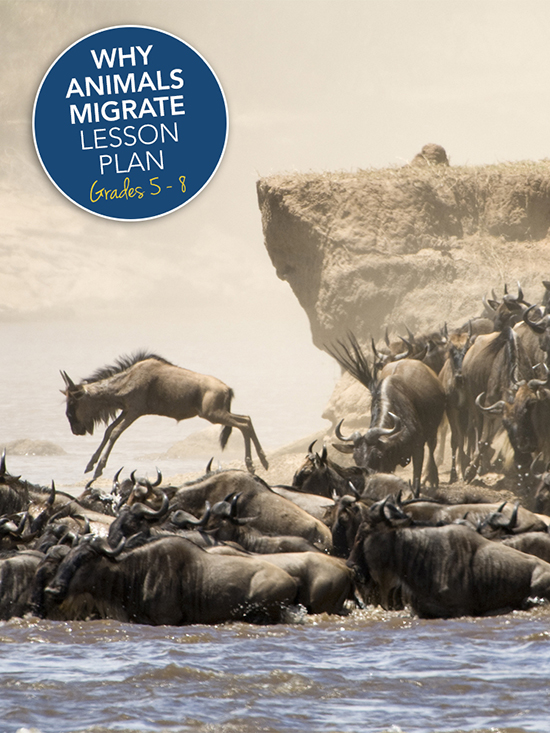 Why animals migrate lesson plan