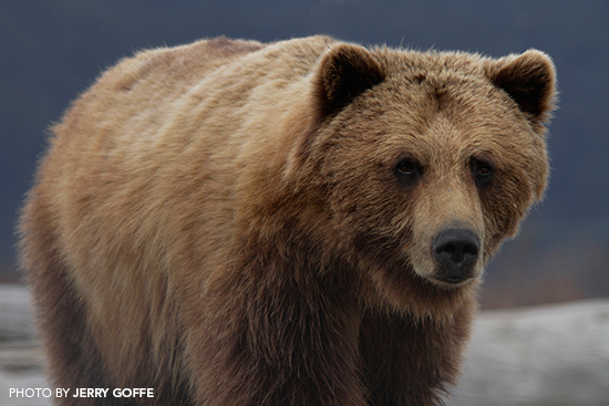 Grizzly Bear Photography