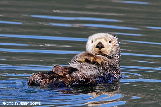 Sea Otter Photography in Alaska