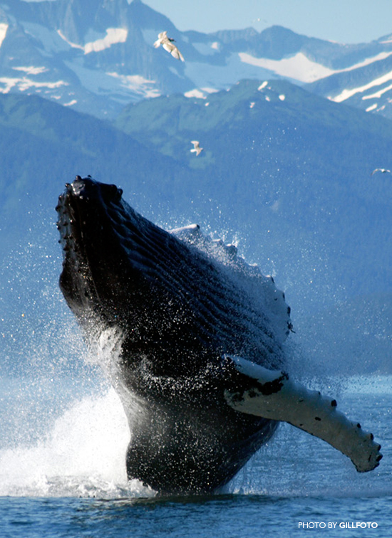 Humpback_Whale_by-Gillfoto