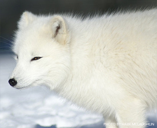 PS-Arctic-Fox