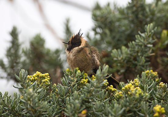 The endemic Bearded Helmetcrest (Oxypogon guerinii)