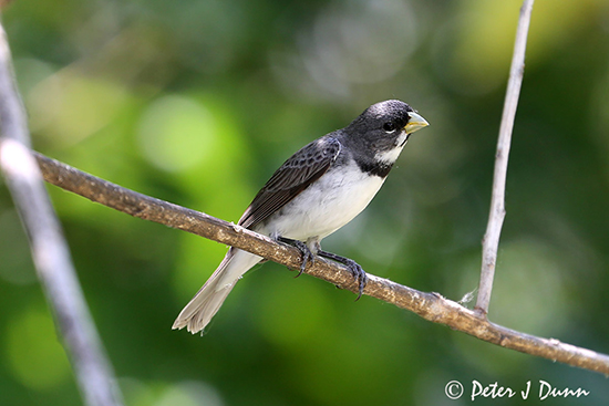 double-collared-seedeater_5820_PJD