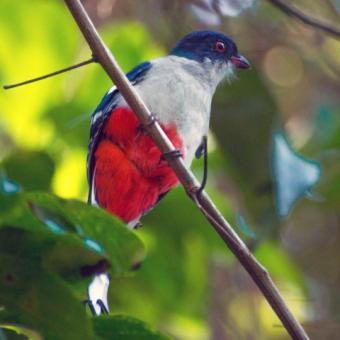 Cuban National Animal